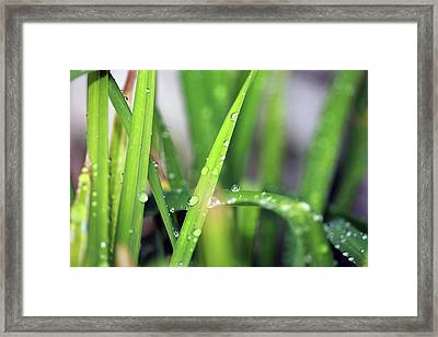 Grass With Rain Drops  Framed Print by Michael Ledray