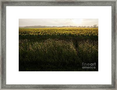 Grasses And Sunflowers 1 Framed Print by Ernesto Ruiz