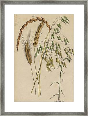 Grasses Framed Print by German Botanical Artist