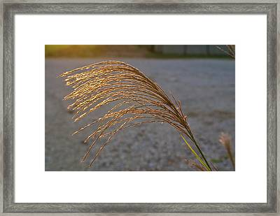 Grassflowers In The Setting Sun Framed Print by Douglas Barnett