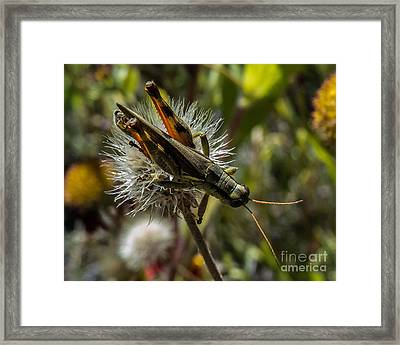 Grasshopper 1 Framed Print
