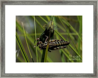 Grasshopper 2 Framed Print