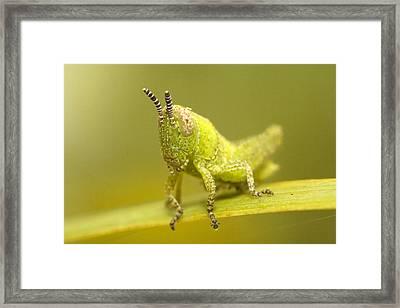 Grasshopper Framed Print by Andre Goncalves