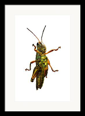 Grasshopper Framed Prints