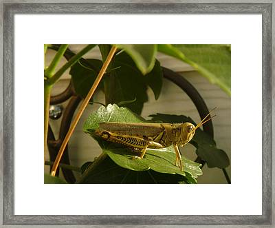 Grasshopper Framed Print by John Julio