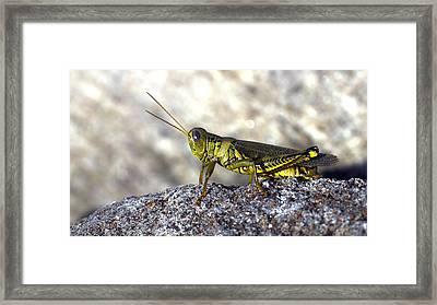 Grasshopper Framed Print by Joseph Skompski