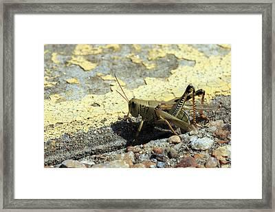 Grasshopper Laying Eggs Framed Print