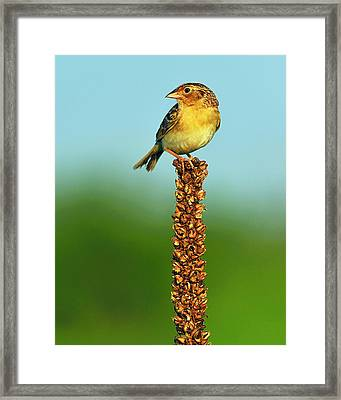 Grasshopper Sparrow Framed Print by Tony Beck