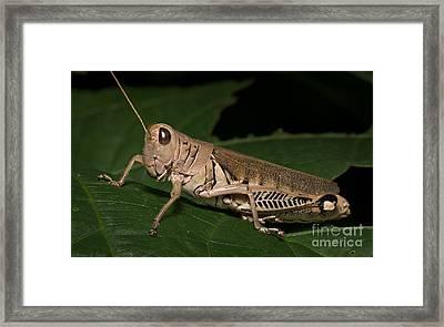 Grasshopper Framed Print by Warren Sarle