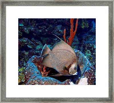 Gray Angel Fish And Sponge Framed Print by Amy McDaniel