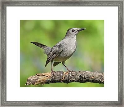 Gray Catbird   Dumetella Carolinensis Framed Print by Jim Hughes