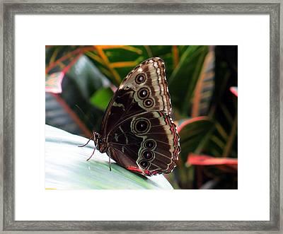 Gray Cracker Butterfly Framed Print