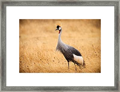 Gray Crowned Crane Framed Print by Adam Romanowicz