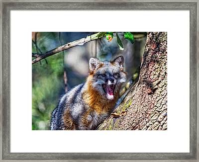 Gray Fox Awakens In The Tree Framed Print