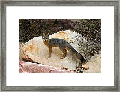 Gray Fox Framed Print by James Marvin Phelps