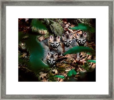 Gray Fox Kits Framed Print by Lloyd Grotjan