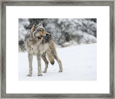 Gray Ghost Of The Northfork II Framed Print by Amy Gerber