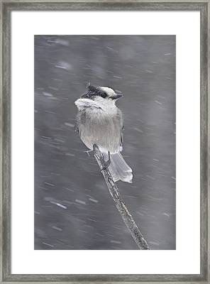 Gray Jay Framed Print by Philippe Francis