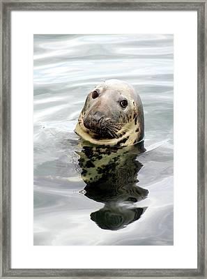 Gray Seal Framed Print