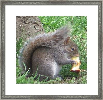 Gray Squirrel With An Apple Core Framed Print