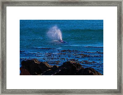 Gray Whale Blow Hole Framed Print by Garry Gay