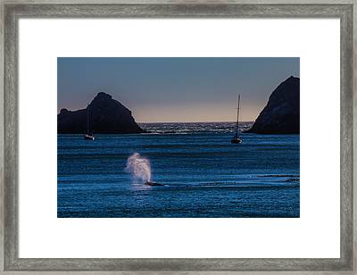 Gray Whale In Calm Bay Framed Print by Garry Gay