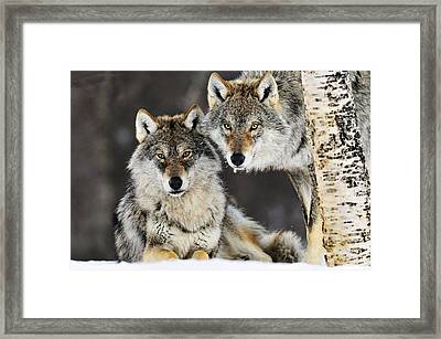 Gray Wolf Canis Lupus Pair In The Snow Framed Print