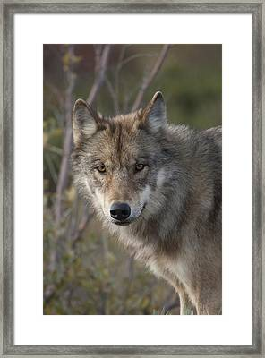 Gray Wolf Canis Lupus Portrait, Alaska Framed Print by Michael Quinton