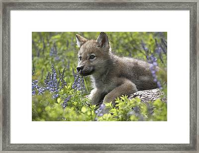 Gray Wolf Canis Lupus Pup Amid Lupine Framed Print