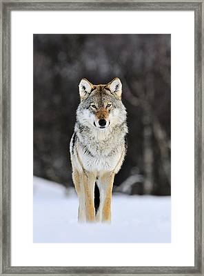 Gray Wolf In The Snow Framed Print