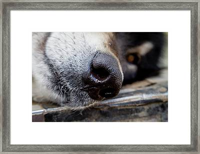 Framed Print featuring the photograph Gray Wolf Nose by Teri Virbickis