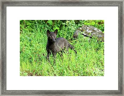 Gray Wolf Pup Framed Print by Louise Heusinkveld