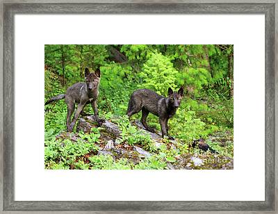 Gray Wolf Pups Framed Print by Louise Heusinkveld