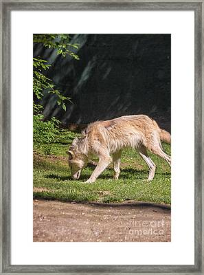 Gray Wolfe  Framed Print by Patricia Hofmeester