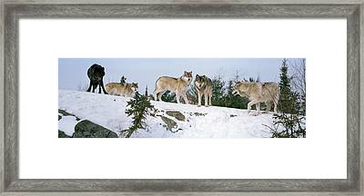 Gray Wolves Canis Lupus In A Forest Framed Print by Panoramic Images