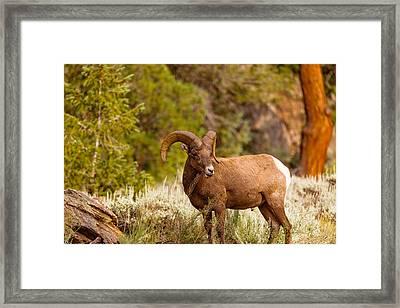 Grazin Ram Framed Print