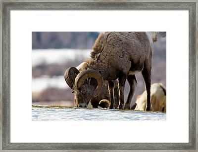 Grazing Big Horn Framed Print