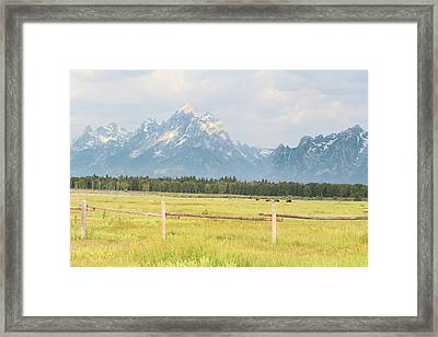 Grazing Bison Framed Print