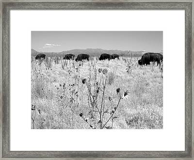 Grazing Buffalo  Framed Print by Lisa Schafer