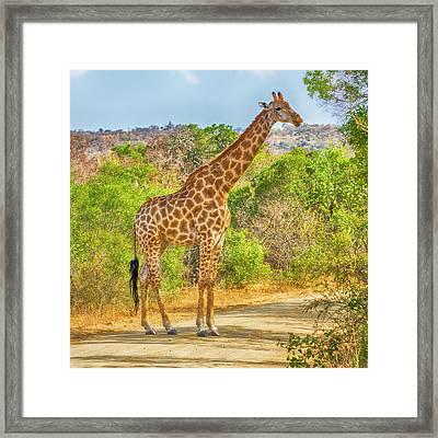 Grazing Giraffe Framed Print