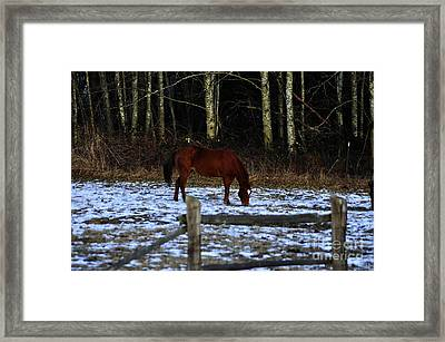 Grazing In A Washington Winter Framed Print by Clayton Bruster