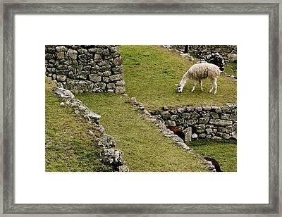 Grazing In Machu Picchu Framed Print