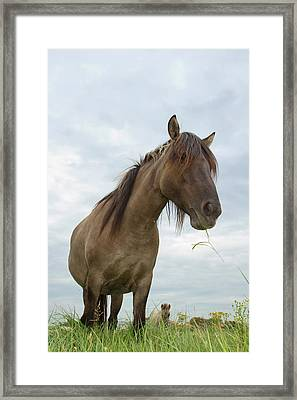 Grazing Konik Horse On A Cloudy Summer Day Framed Print by Roeselien Raimond