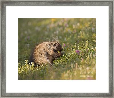 Grazing Porcupine Framed Print by Tim Grams