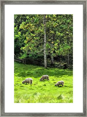 Grazing Sheep At Old World Wisconsin Framed Print