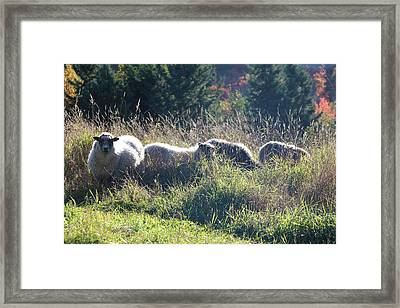 Grazing Sheep Two Framed Print