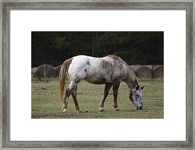 Framed Print featuring the photograph Grazing Time by Kim Henderson