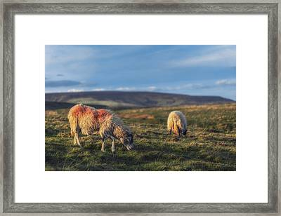 Grazing With Suspicion Framed Print