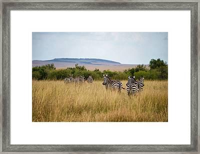 Grazing Zebras Framed Print