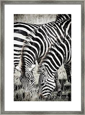 Grazing Zebras Close Up Framed Print by Darcy Michaelchuk